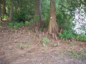 Bald Cypress at Smithville Lake
