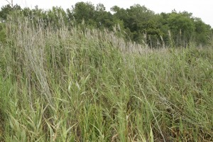 Phragmites by Steve Hillebrand, US Fish and Wildlife Service