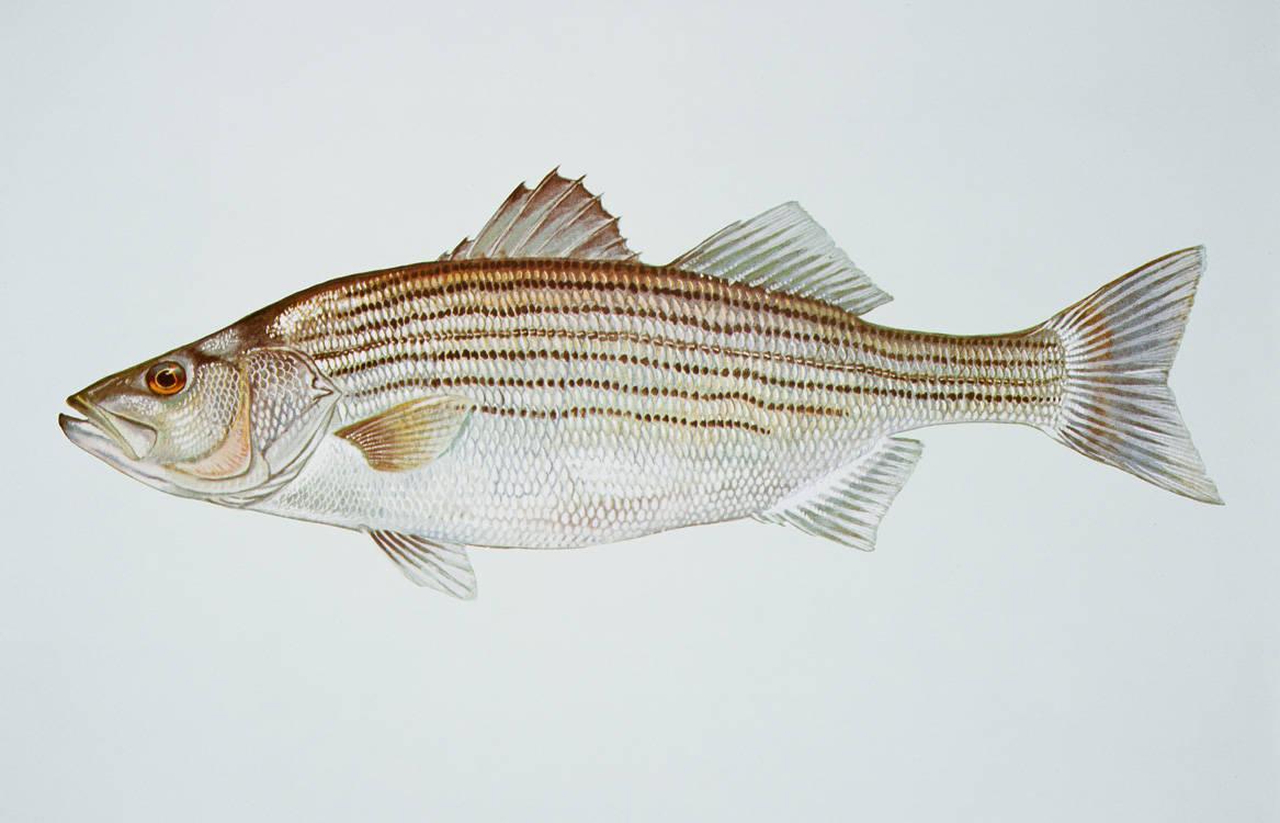 Wildlife on the nanticoke paddle the nanticoke paddle for Maryland freshwater fish