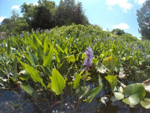 Pickerel weed is more prevalent on the middle and lower stretches of Broad Creek
